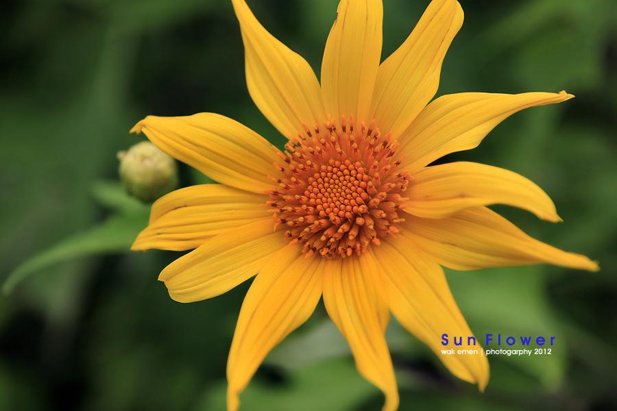 .: Sun Flower at Siamang Bunyi :.